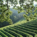 What Does Green Tea Do to Prevent Strokes?