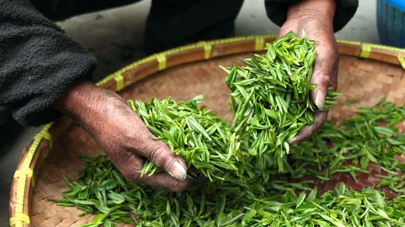 fresh natural green tea leaves