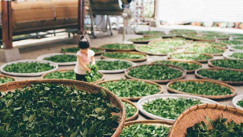 processing green tea leaves