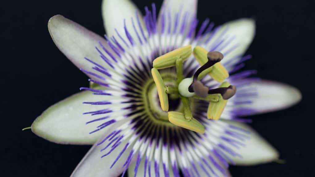 Passionflower blossom