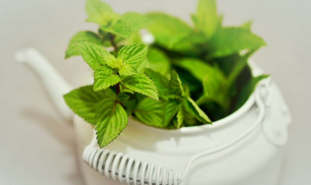 Peppermint leaves in a tea pot