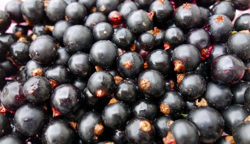 black currants for making tea
