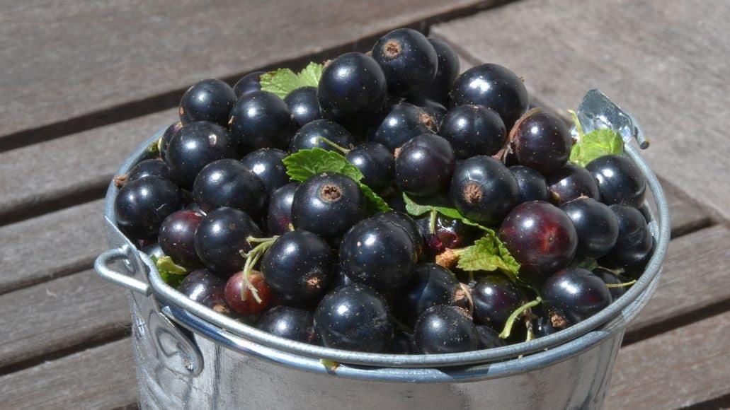 bucket of black currants
